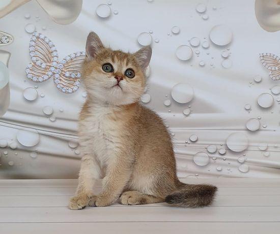 Вильям - потрясающий котик золотистого окраса