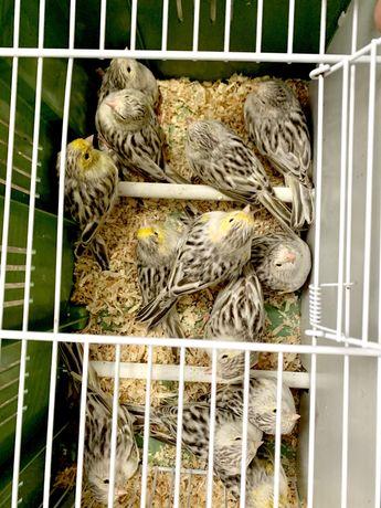 canarios novos e reprodutores
