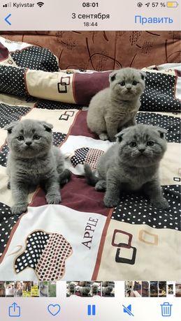 Котята голубого окраса.