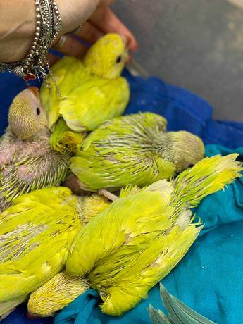 Ожереловий папуга Крамера оливкового кольору