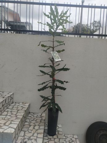 Planta de Macadâmia
