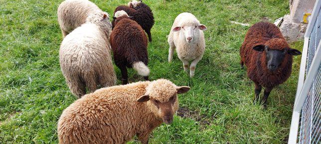Jagnięta, baranki, owce, owieczki