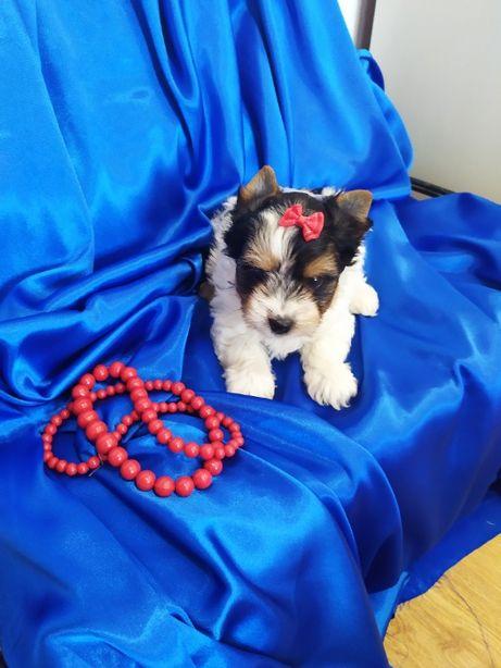 Biewer Yorkshire Terrier -pieski z rodow 5 pokoleń po Champion-Polski
