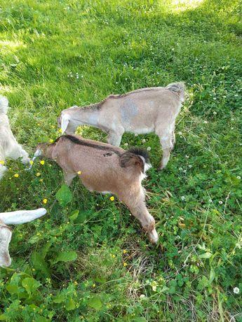 Англо нубийские коза козлики