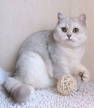 Кот, вязка