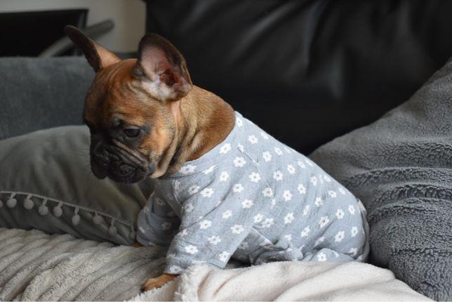 Bulldog Frances Pronto para entrega - criadora registada