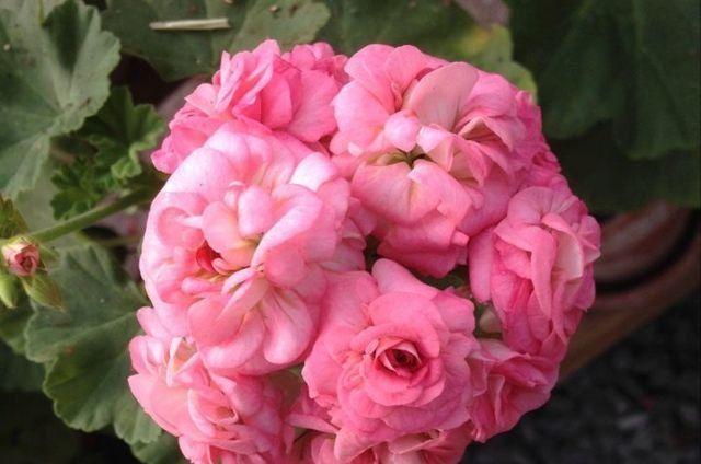 Продам укоренённый черенок пеларгонии Grainger's Antique Rose