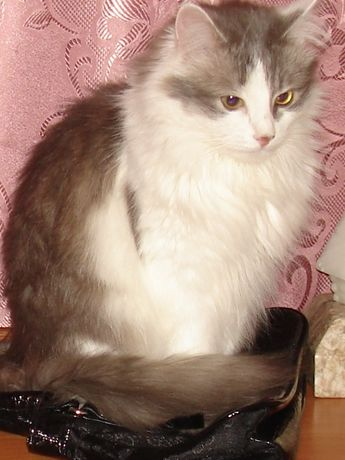 Пропала кошка, Бородинский .