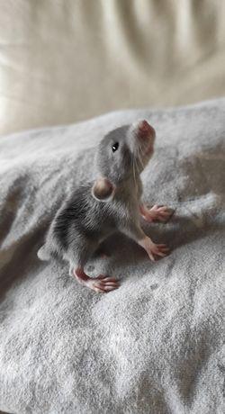 Szczury szczurki szczur szczurek dumbo fuzz rex