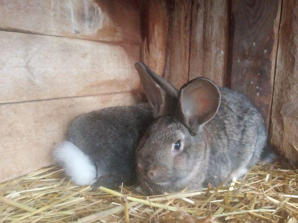 Królik, króliki samice