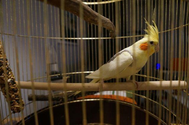 Papuga nimfa Trójmiasto