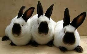 кролики калифорнийской породы племенные