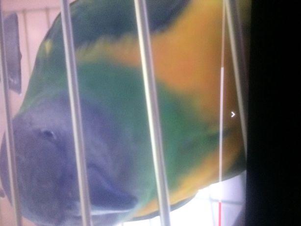 Продам папугаев Сенегал