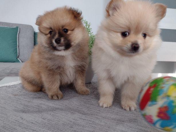 Szpic miniaturowy - Pomeranian, śliczne szczeniaczki