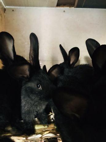 Кролі кролики