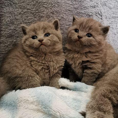 Kot Brytyjski kotki i kocurki niebieskie gotowe do odbioru