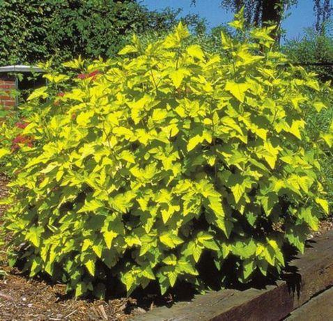 Pęrzerznice klonolistne żółte zielone, hortensje, Funkie. miskanty