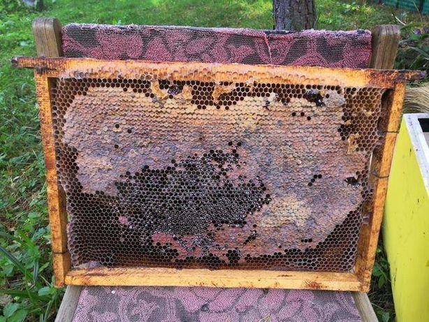Бджолині матки Карпатки тип Вучковский Мічені 2021 г.