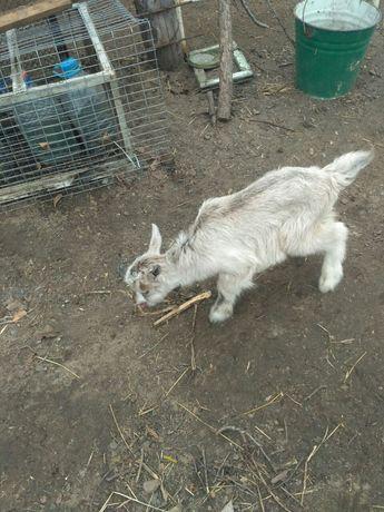Продам козлят и козу