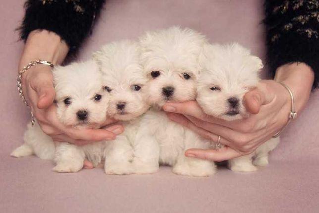 Pieski Maltańczyki z rodowodem. Chip, Rodowód, Umowa