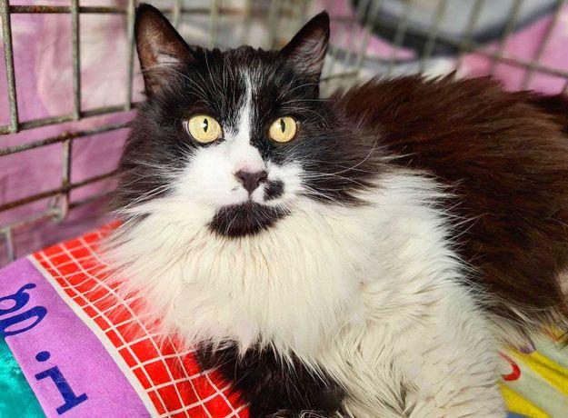 Сільвія тендітна чорно-біла дівчинка (киці, коти, кошенята)