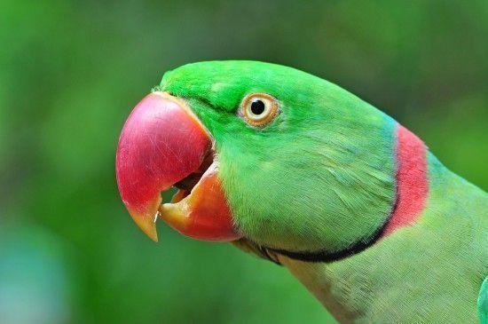 Александрийский попугай продажа малишы ручные выкормыши