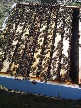 Vendo enxames de abelhas (10 quadros) colmeia Lusitana