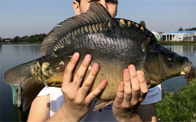 Karp żywy handlówka  o wadze 1,5 - 2,5 kg wielkopolskie, dolnośląskie