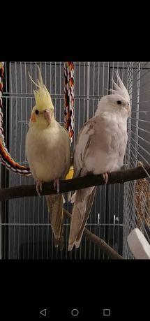 Papugi Nimfy + klatka + wyposażenie