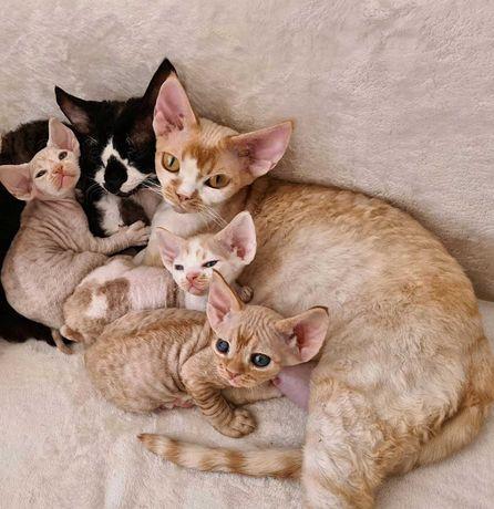 Гипоаллергенные котята Девон Рекс