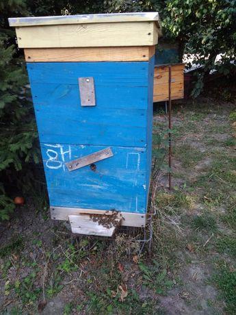 Пчелосемьи кавказянка бакфаст