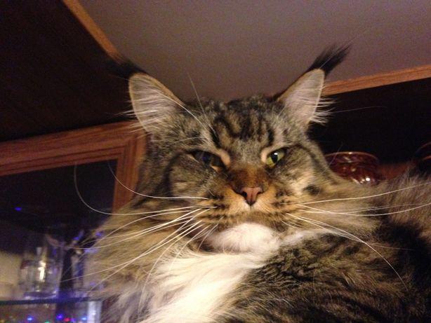 Кот Мейн-кун ищет кошку