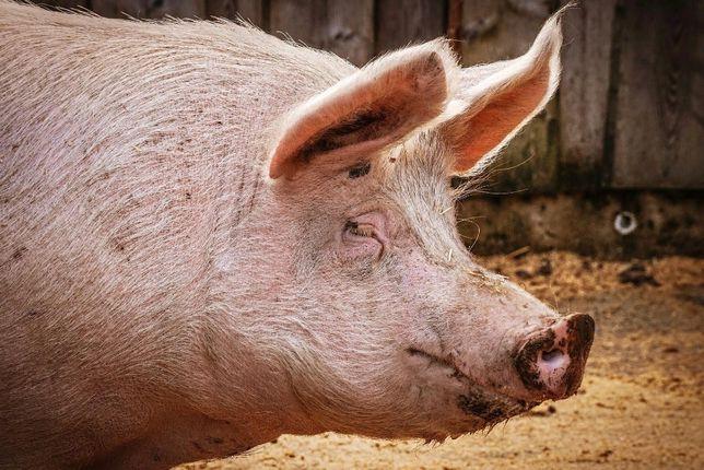 Домашняя свинина мясо полутуша мякоть