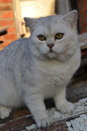 Шиншилла кот очень красивый с зелёными глазами