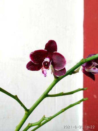 Орхидея мультифлора Phal. Blacky готова к цветению орхидеи