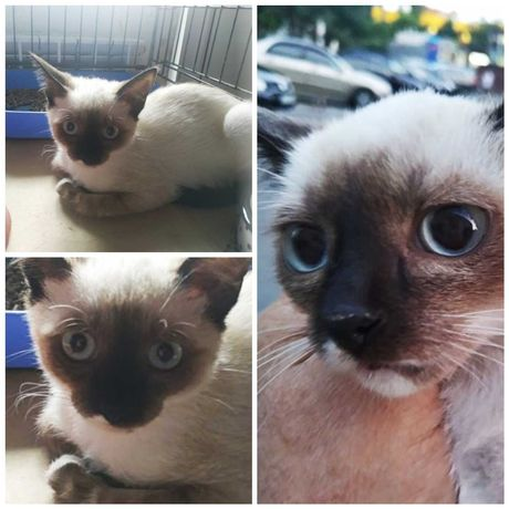 Сиамский котенок - подросток, девочка, 4 мес, кошка, котята