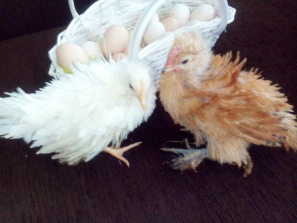 Jaja lęgowe kur Lokowanych