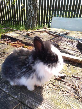 króliki karzełki