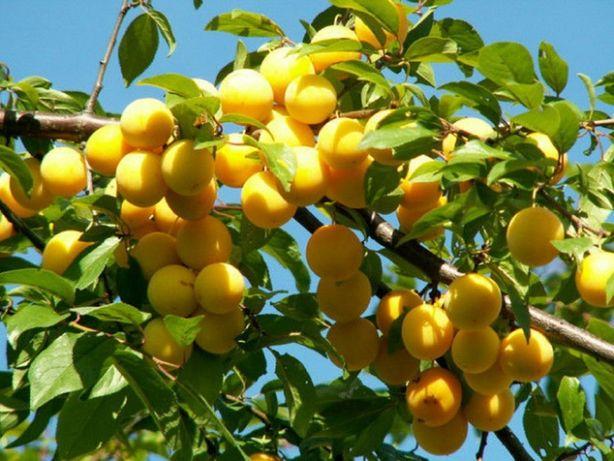 HERBARIUSZ - Śliwa MIRABELKA Żółta Zapylacz, słodka Smak dzieciństwa