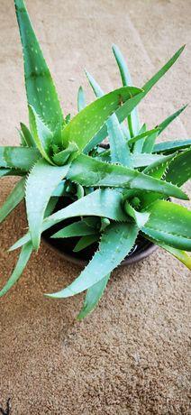 Aloes zwyczajny roślina doniczkowa