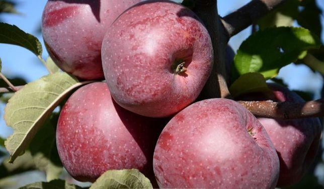 Яблоко летнее зимнее осеннее