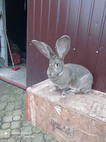 Sprzedam króliki olbrzym belgijski