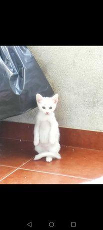 Oferecemos gatinhos brancos