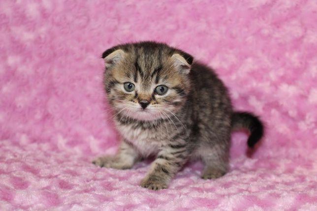 Шотландский вислоухий котенок (мальчик) скотиш фолд