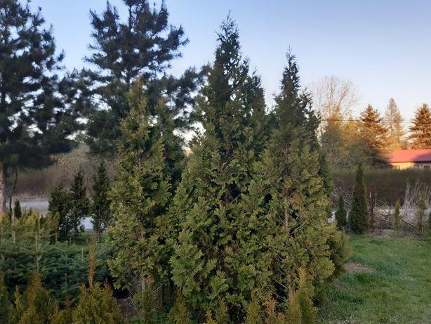 Tuja olbrzymia, Thuja Plicata w donicach 300-350 cm