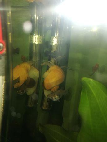 Żółte ślimaki akwarystyczne