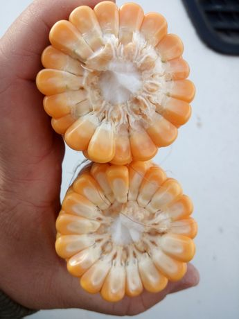 SUPER NA ZIARNO! kukurydza Cegrand Keltikus Kidemos Figaro