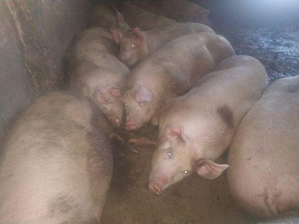 Свини мясной породы