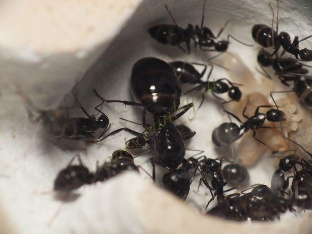 camponotus aethiops муравьи