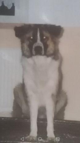 Pies saba  zgubił się